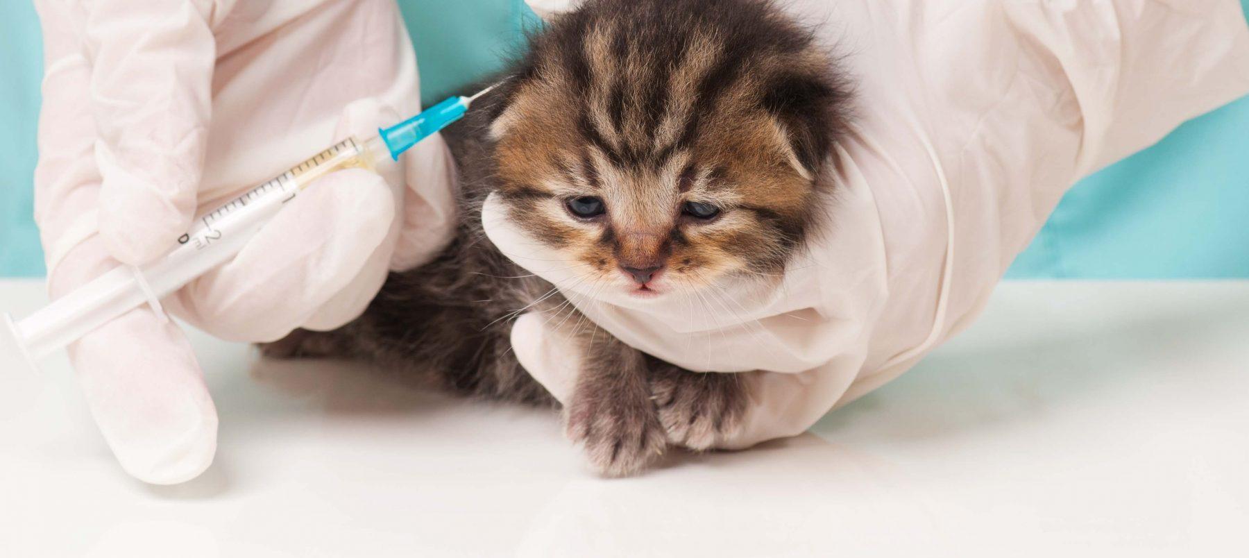 kitten-vaccination